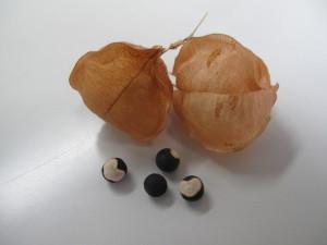 フウセンカズラ 実と種